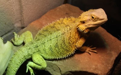 The 3 Reasons Why Bearded Dragons Flatten Out!