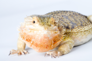bearded dragons flatten out