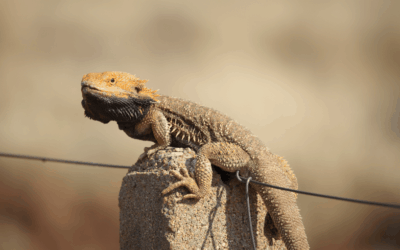 Can Bearded Dragons Jump? (What Every Owner Must Know)