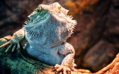 Are Bearded Dragons Bothered By Noise? (The Facts)