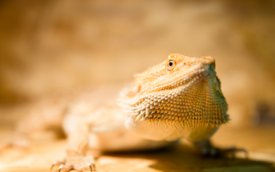 Why Bearded Dragons Need Calcium (What You Simply Must Know)
