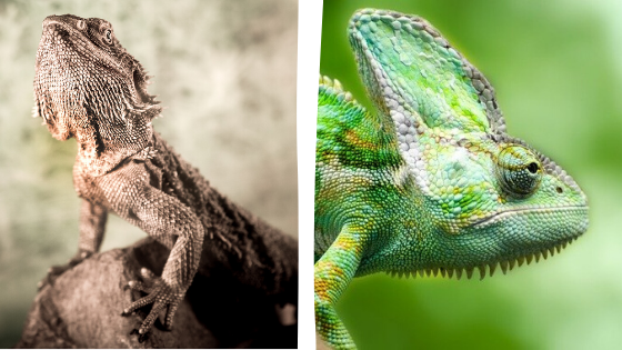 Do Bearded Dragons And Chameleons Get Along? | Must Read!