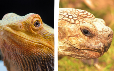 Do Bearded Dragons And Tortoises Get Along? | Must Read!