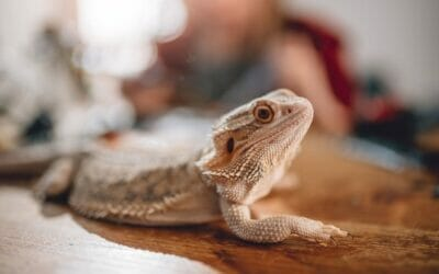 Can Bearded Dragons Get Depressed? What Owners Must Know!
