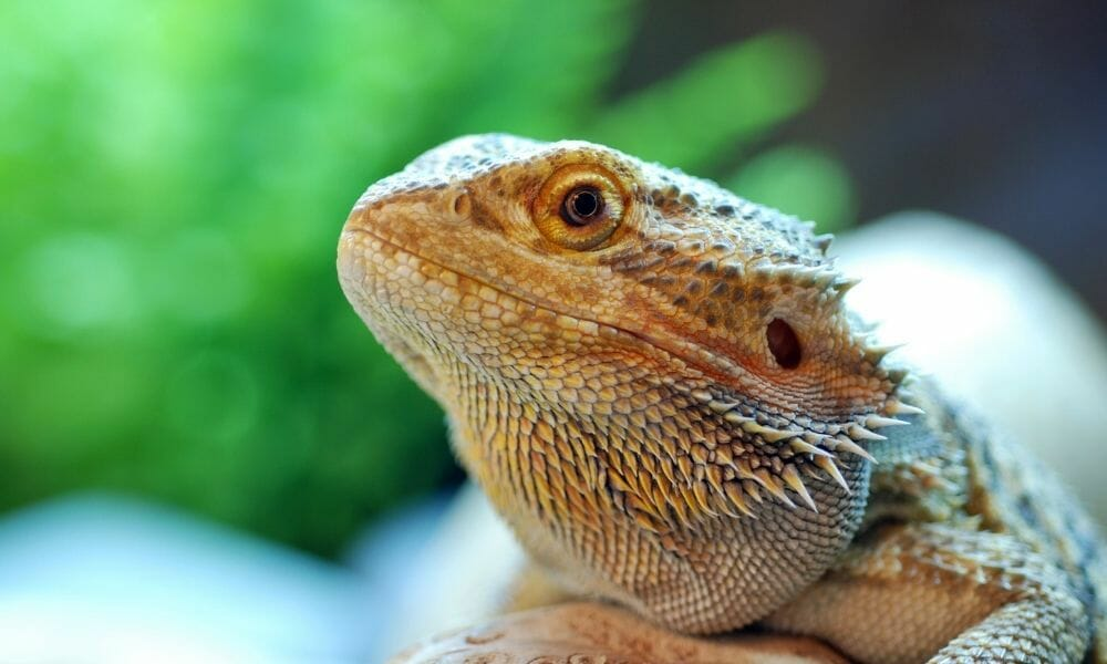 Why Do Bearded Dragons Lay In Their Water Bowl? (4 Reasons)
