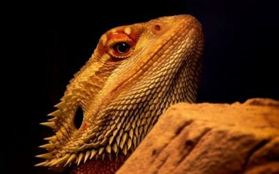 The 9 Best Basking Bulbs For Bearded Dragons (2020)