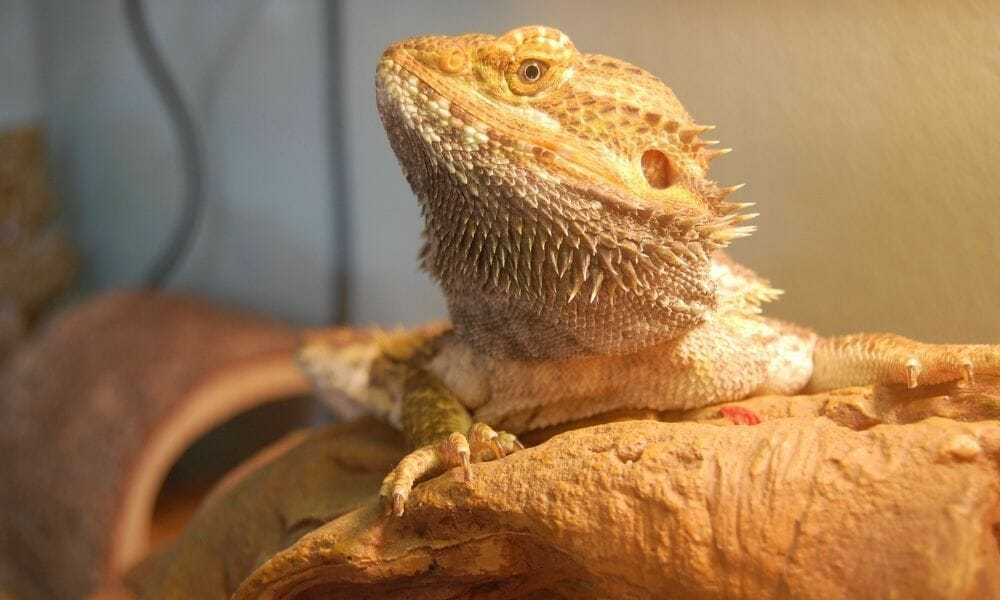 The 9 Best Timers For Bearded Dragons (Owners Guide)