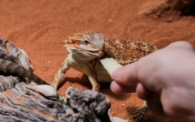 11 Reasons Why Your Baby Bearded Dragon Isn't Eating!