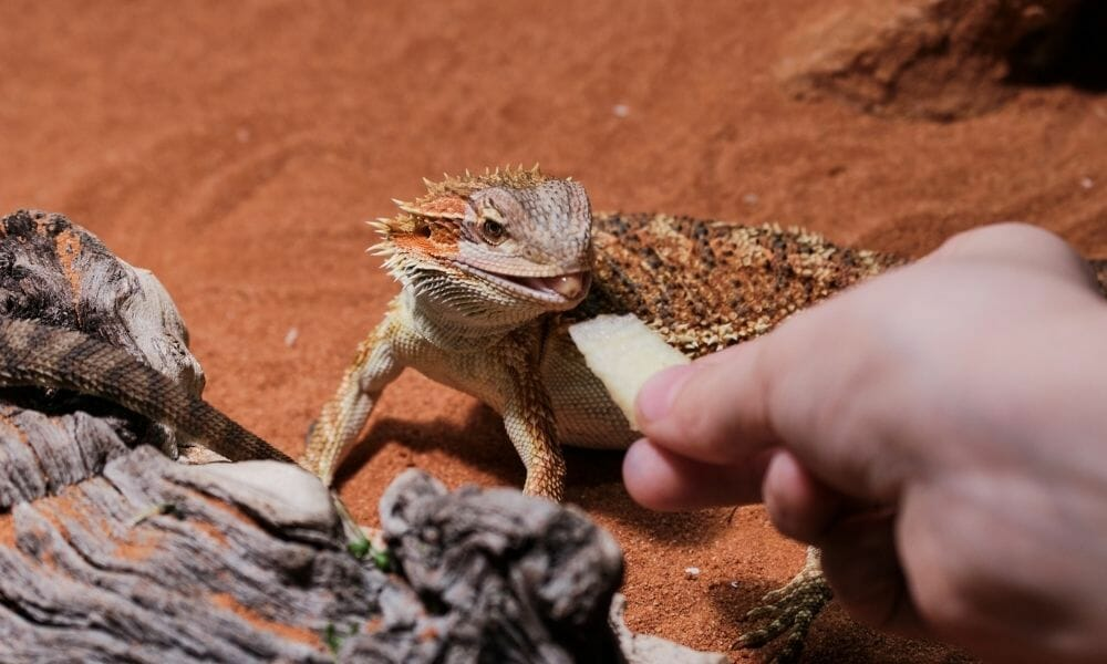 12 Reasons Why Your Baby Bearded Dragon Isn't Eating!