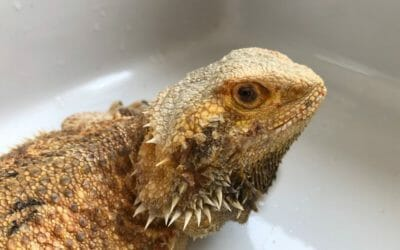 Do Bearded Dragons Need Baths? The Surprising Truth!
