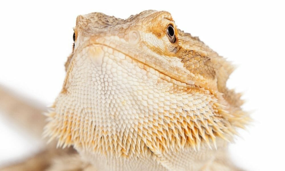 Can Bearded Dragons Get Too Much UVB? (Surprising Truth)