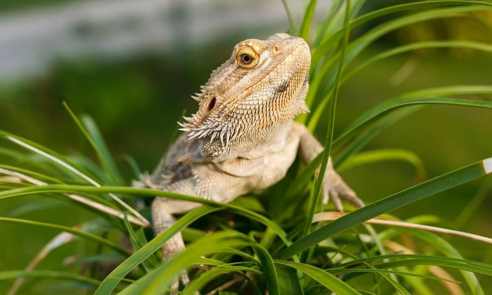 Will Bearded Dragons Eat Fake Plants? Find Out Here…