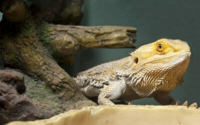 Do Bearded Dragons Hide When They Shed? (The Facts)