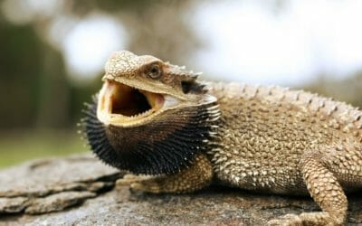 Why Do Bearded Dragons Hiss? (The 13 Common Reasons)