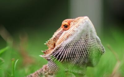 How Do Bearded Dragons Get Calcium In The Wild? (Revealed)