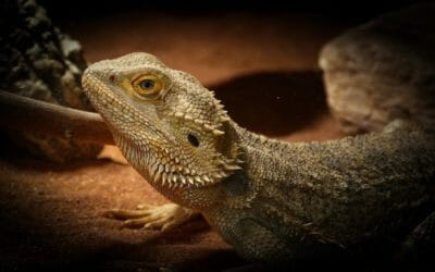 Why Do Bearded Dragons Eat Their Own Skin? Is It Safe?