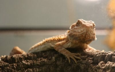 Why Do Bearded Dragons Eat Their Own Poop? Is It Safe?