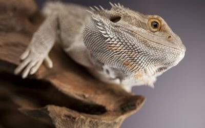 Do Bearded Dragons Itch When They Shed? Find Out Here…