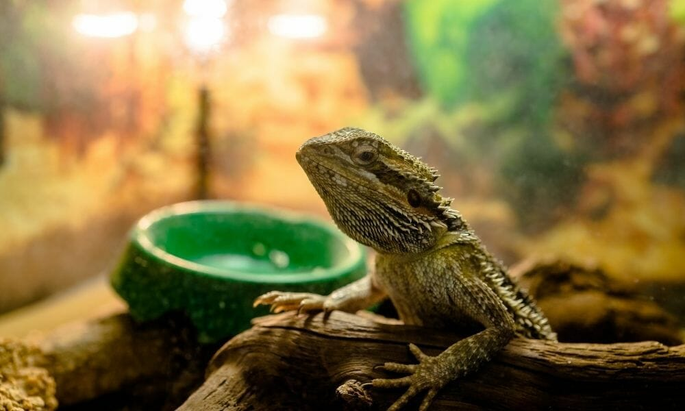 How Often Should You Change a Bearded Dragons Water?