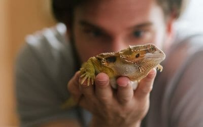 Can you Hold a Bearded Dragon While Shedding? (Revealed)