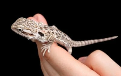 The 10 Reasons Why Your Bearded Dragon Isn't Growing!