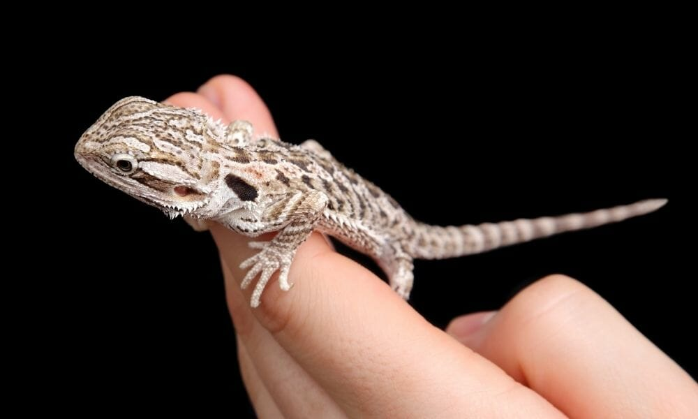 How to Tell The Age Of a Bearded Dragon (Best 4 Ways)