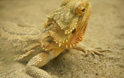 Do Bearded Dragons Burrow? What You Must Know!