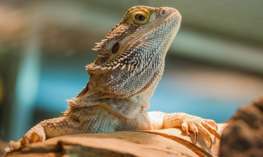 The 3 Reasons Why Bearded Dragons Bulge Their Eyes?