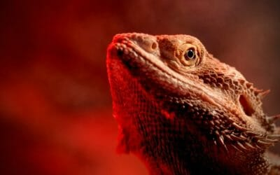 The Bearded Dragon Third Eye | All You Need to Know!