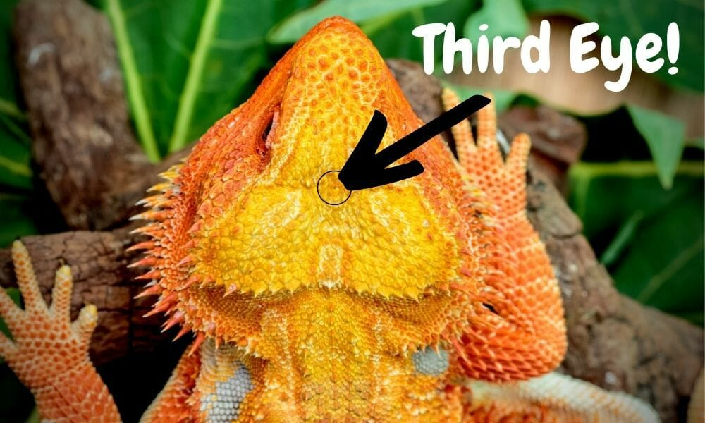 bearded dragon third eye diagram