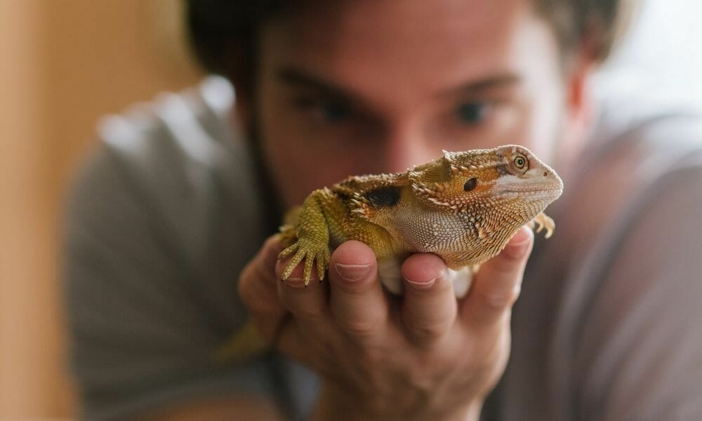 Do Bearded Dragons Smell? (What Nobody Tells You)