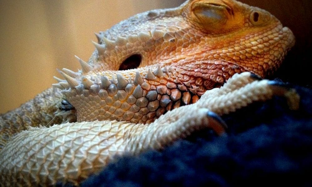 The 15 Reasons Your Bearded Dragon Is Sleeping A Lot!