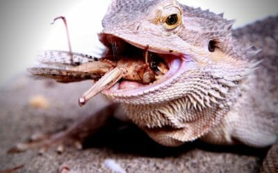 Bearded Dragons & Crickets: 23 Things Owners Need to Know!