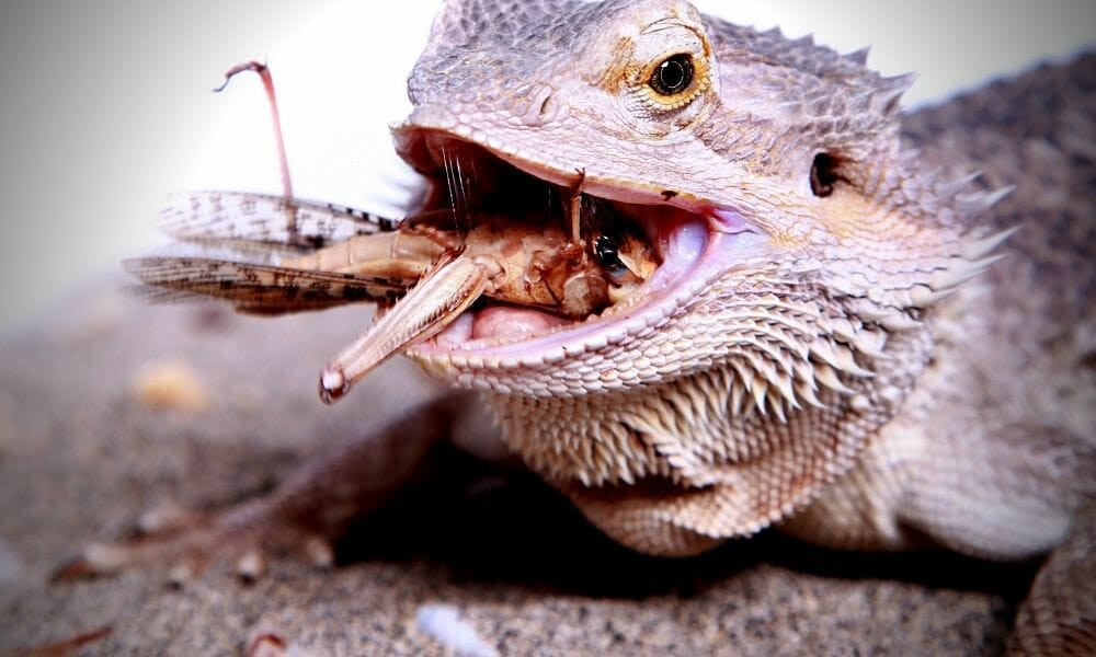 The 7 Reasons Why Your Bearded Dragon Is Always Hungry!