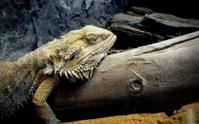 The 9 Reasons Why Your Bearded Dragon Isn't Sleeping!