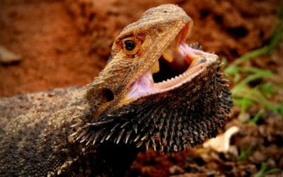 Bearded Dragon Stress | Signs, Causes, Solutions