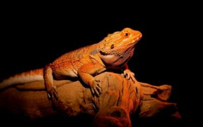 Cold Bearded Dragon: Signs, Causes & Solutions