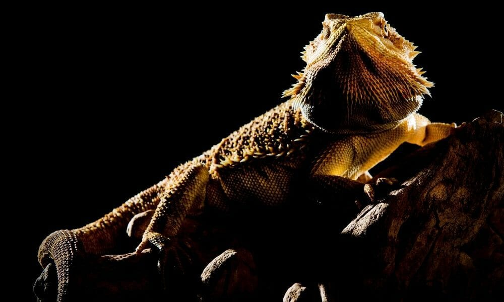 Can You Leave a Bearded Dragons Heat Lamp On at Night?