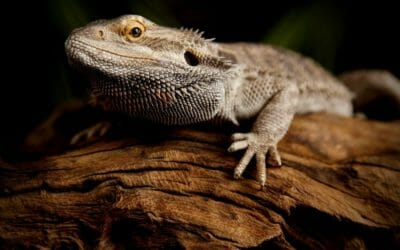 Bearded Dragon Impaction: Signs, Causes & Treatment!