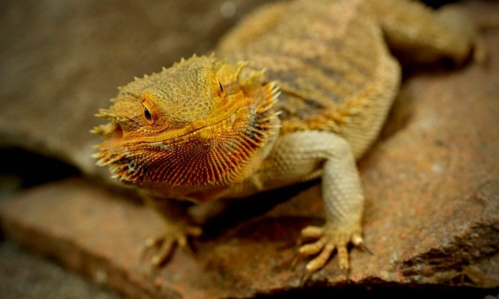 The 10 Reasons Why Your Bearded Dragon Isn't Basking!