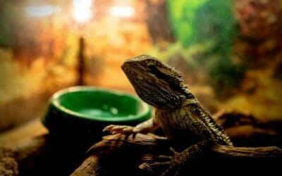 Bearded Dragon Dehydration: Signs, Causes & Treatment!