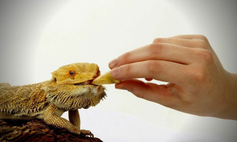 How Often to Feed Bearded Dragons (All Ages)