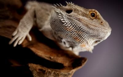 Can Bearded Dragons Swim? (The Surprising Truth)