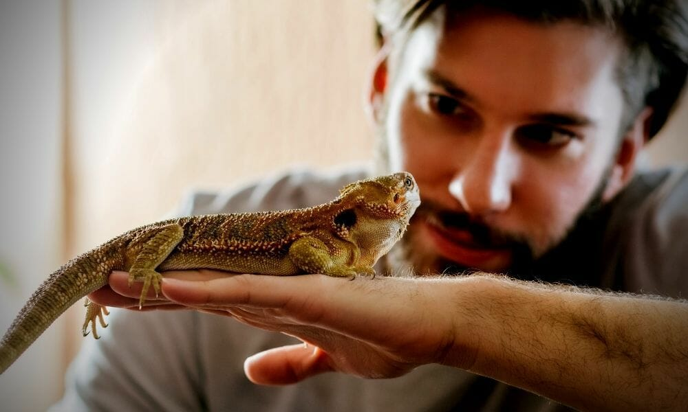 Are Bearded Dragons Good Pets to Own? (The Truth)